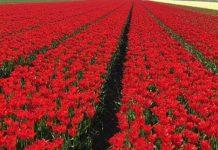 Wirus X tulipana – nowe fakty