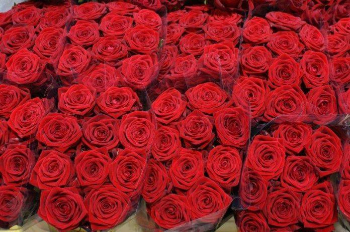 róża Red Naomi