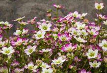 Byliny wiosny – skalnica
