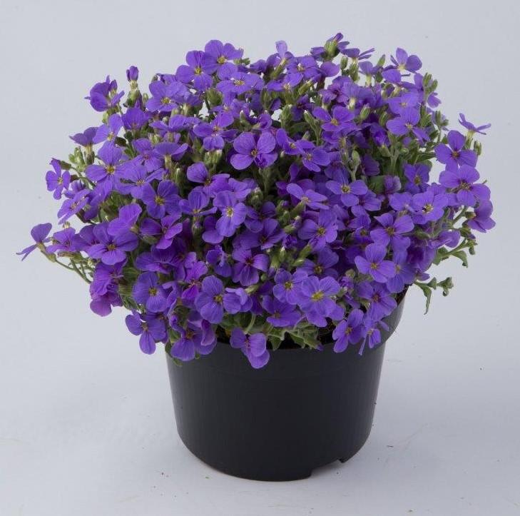 Aubrieta-gracilis-Florado-Blue-Eye_Florensis