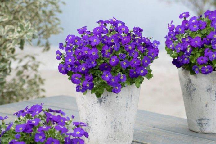 Aubrieta-gracilis-Kitte-Blue_Florensis