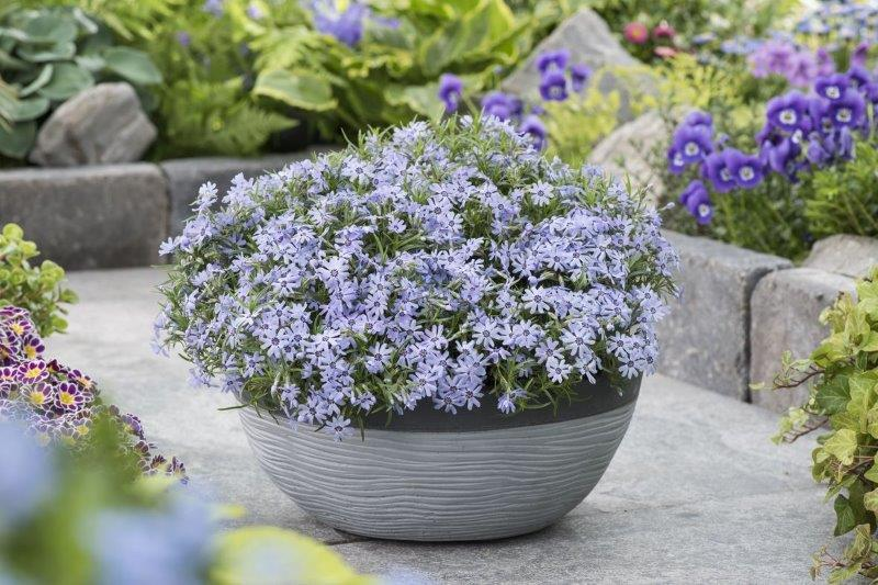 Phlox-subulata-Fabulous-Blue-Dark-Center_Florensis