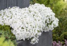 Byliny wiosny – floks szydlasty