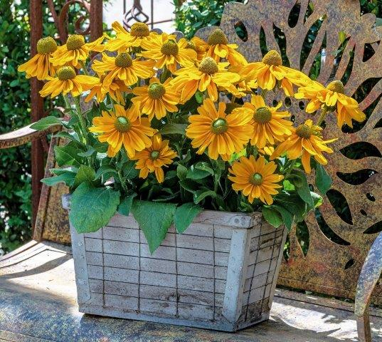 Rudbekia Amarillo Gold