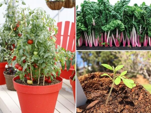 Warzywa do uprawy amatorskiej