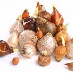 Handel cebulami roślin ozdobnych zagrożony