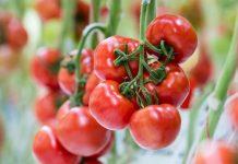 Pomidory na jesienne nasadzenia – propozycje od DE RUITER i SEMINIS