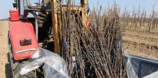 Brak pracowników do sadzenia drzewek czy wygoda?