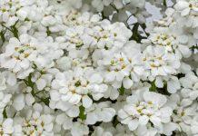Byliny wiosny – ubiorek wiecznie zielony