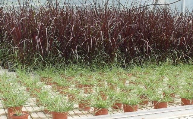 Trawy ozdobne uprawa w szklarni