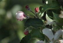 Ochrona sadów w okresie okołokwitnieniowym – spotkanie internetowe 12.05.2020