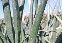 Wchodzimy w strategiczny okres ochrony warzyw i ziemniaków jadalnych