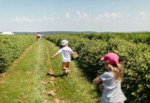Rodzinnie i zdrowo na plantacjach jagody kamczackiej
