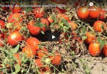 Pomidory dla przetwórstwa w sezonie 2020
