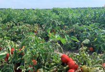Nawozy potęgujące plon pomidorów