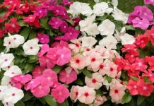 Katarantus różowy – na upalne lato
