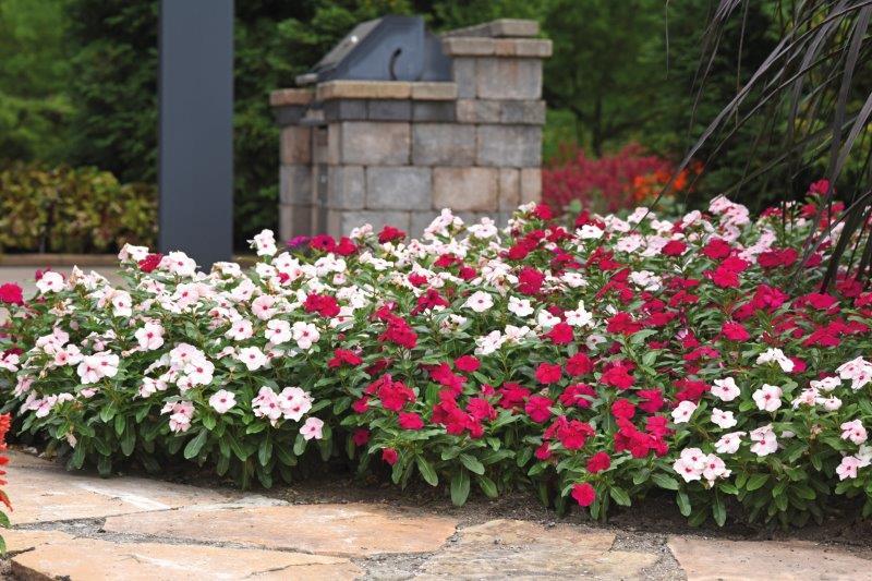 Katarantus różowy na terenie miejskim
