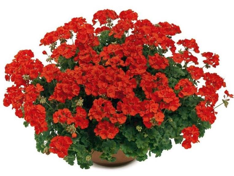 Pelargonia pac® TWOinONE Scarlet