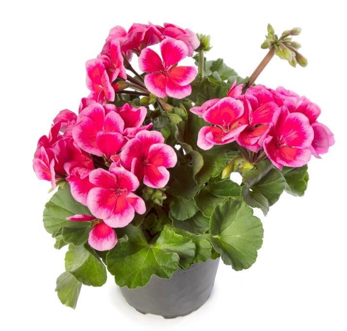 Pelargonia rabatowa Pelargonia Tango Rose MegaSplash_L