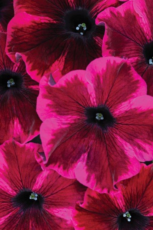 Petunia-grandiflora GO!TuniaCosmic Purple