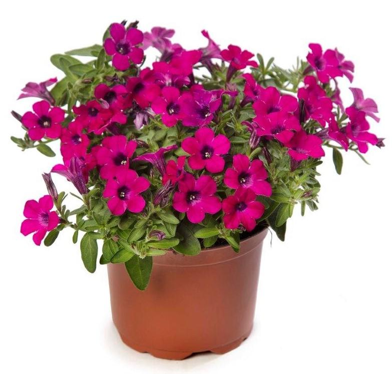 Petunia Itsy™ 'Magenta'