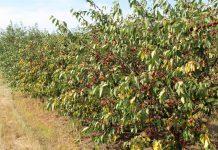 Cięcie wiśni – dlaczego warto ciąć wiśnie po zbiorach?