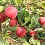 Włosi będą mogli opóźnić dojrzewanie jabłek