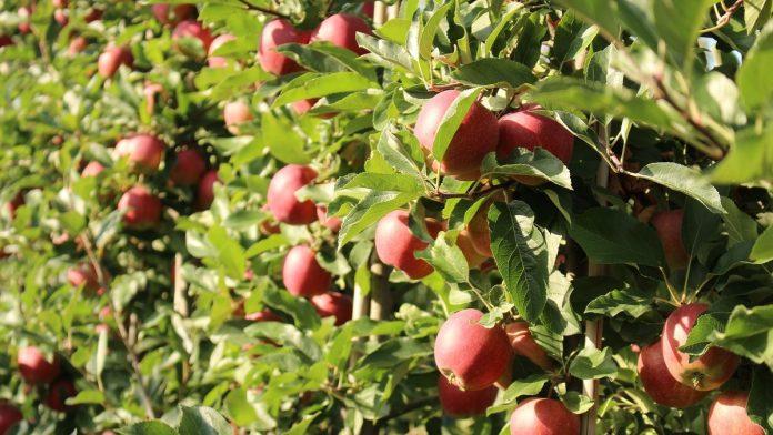 Zabiegi przedzbiorcze jabłek w 2020