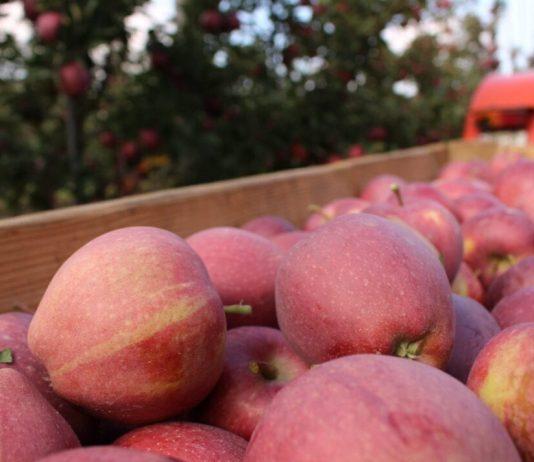 Są prognozy WAPA – zbiory jabłek 2020 w UE – Prognosfruit