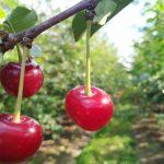 Cięcie odmładzające wiśni – czy warto?