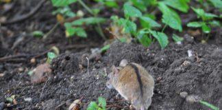 Zapobieganie i zwalczanie nadmiernej populacji gryzoni polnych