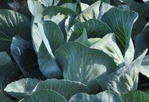 Prezentacje odmian kapusty w Charsznicy