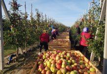 Wiedza na temat rynku jabłek jest tak samo ważna jak umiejętność walki z parchem