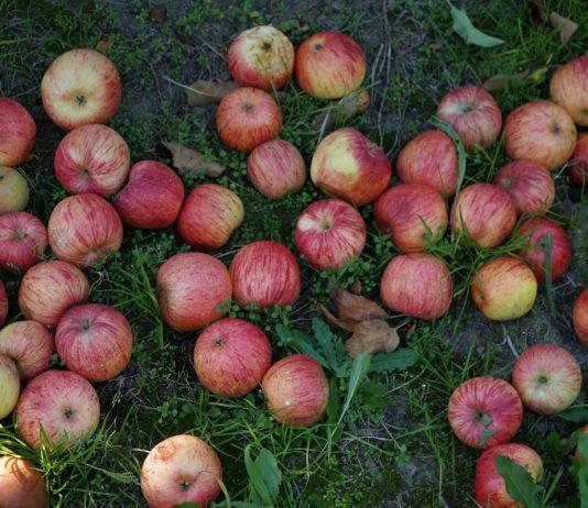 Część sadowników deklaruje wstrzymanie sprzedaży jabłek przemysłowych