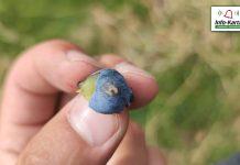 Uwaga! Muszka plamoskrzydła dużym zagrożeniem w uprawach sadowniczych – komunikat jagodowy Agrosimex