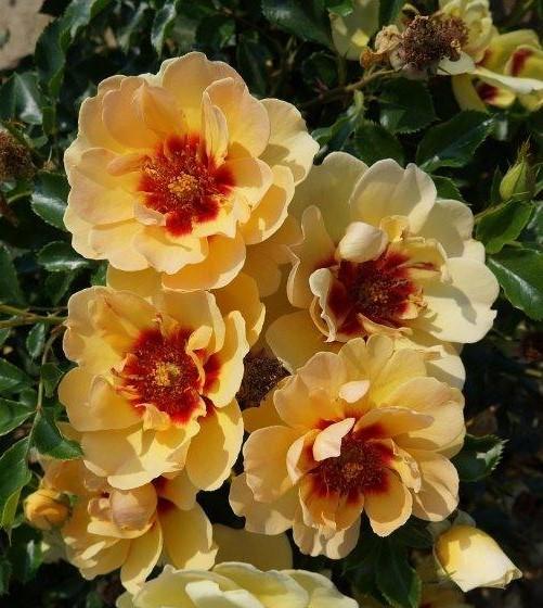 Róża MAJA BABYLON EYES 'Intereybabjam' PBR