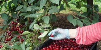 Podejrzenie zmowy cenowej przy skupie wiśni i truskawek