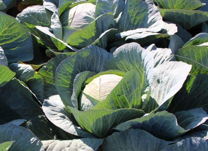 Kapusta - uprawa i zbiory 2020 - warzywnictwo