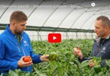 Odżywianie papryki – dokarmianie potasem – komunikat warzywniczy Timac Agro, 01.10.2020