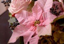Poinsecje – nie tylko na Boże Narodzenie
