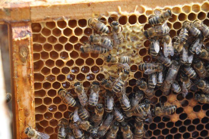 miód, pszczoły