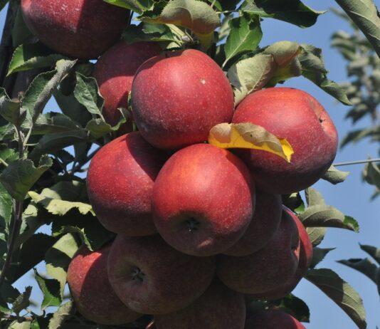 Tajwan – eksport jabłek w sezonie handlowym 2020/2021 będzie kontynuowany