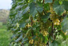 Zbiory winogron w UE
