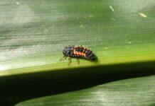 Organizmy pożyteczne w walce ze szkodnikami upraw