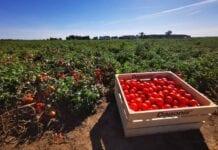 Kolekcja odmian pomidora gruntowego – podsumowanie sezonu 2020. Odmiany, ochrona, nawożenie…