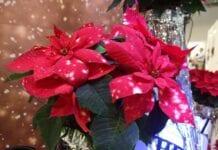 Gwiazda grudnia