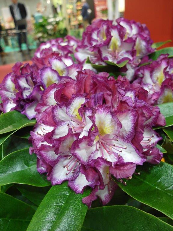 Różanecznik Pushy Purple