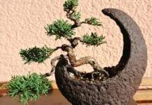 Import określonych roślin bonsai z Japonii