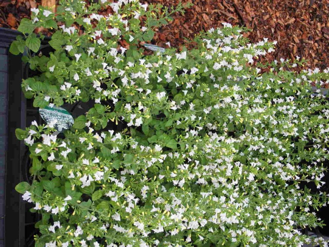 Kalaminta mniejsza Marvelette White