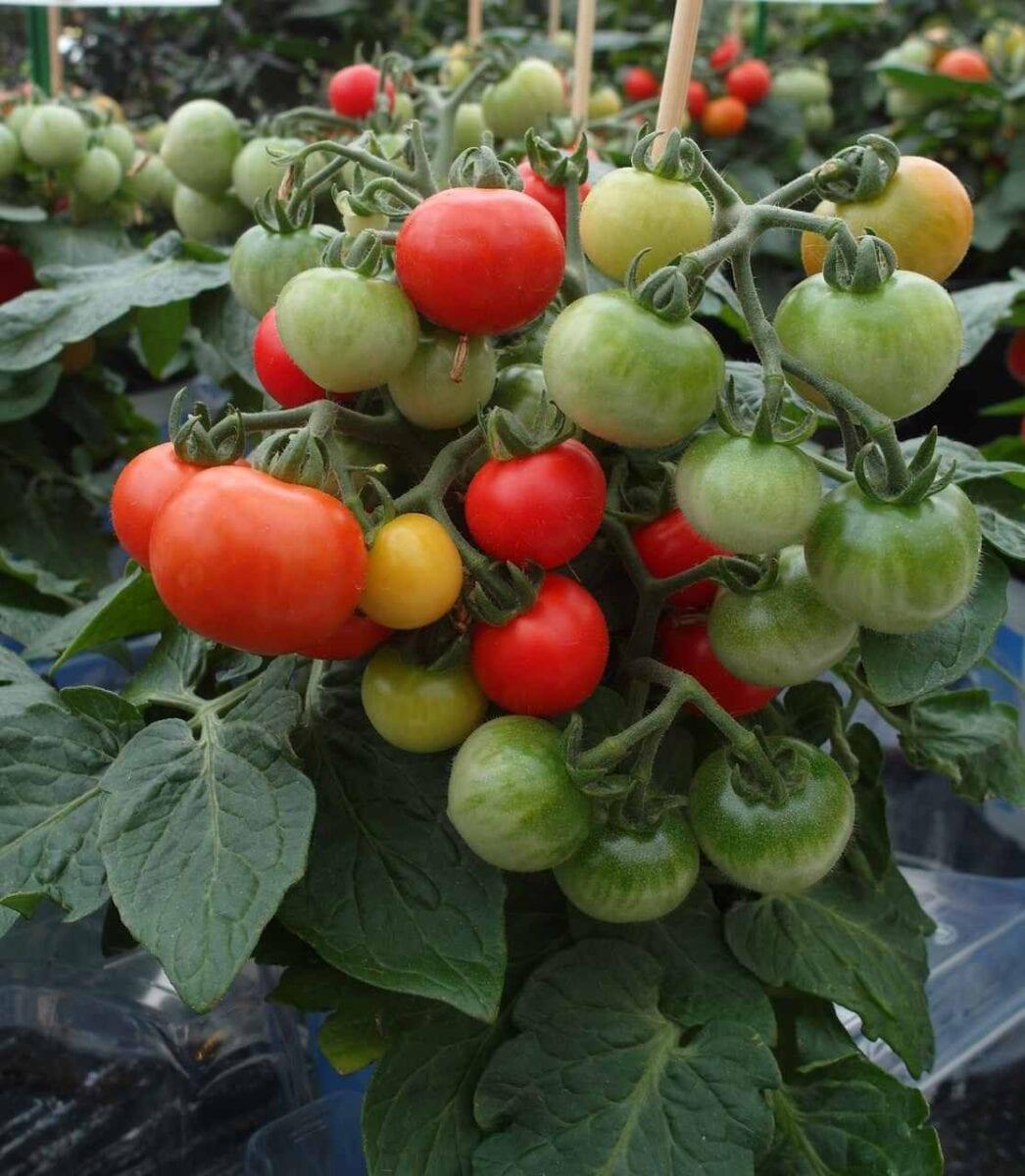 Pomidory w doniczkach